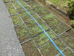 苗箱を用いた芝生育成の様子